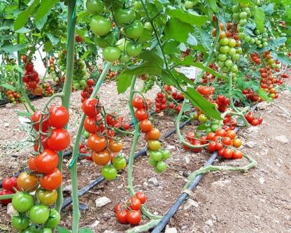 Domates (Salkım Cherry) Bahçe