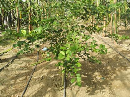 Limes Ağacı